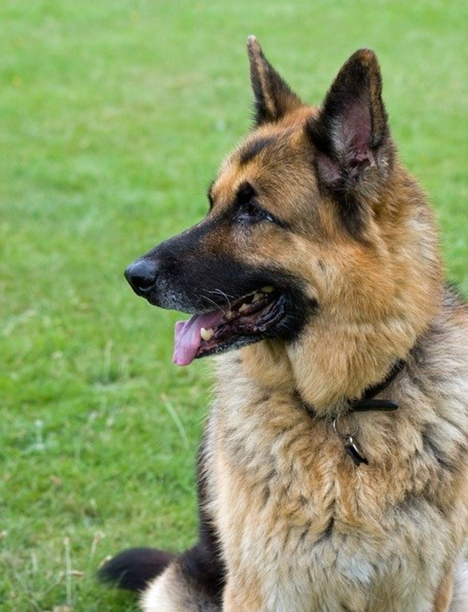 Types Of German Shepherds A Guide To