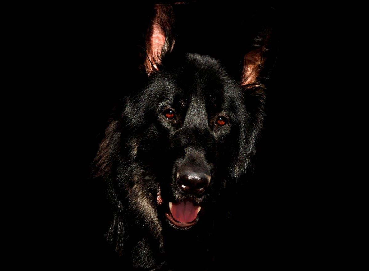types-of-german-shepherds-german-shepherd-dog-varieties-guide