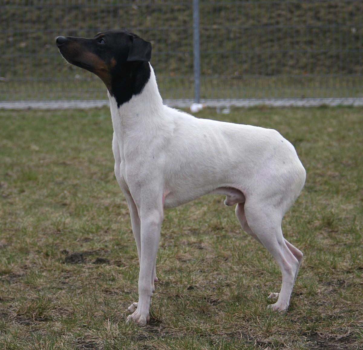 The Nippon Terrier is seldom seen outside of Japan.