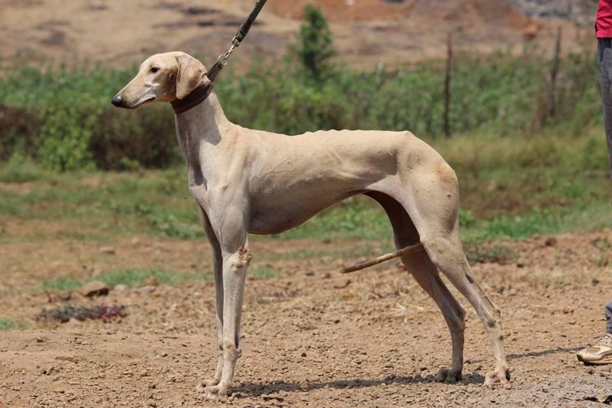A Pashmi Hound dog.