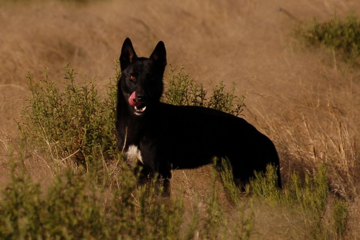 A Dingo Indochina.