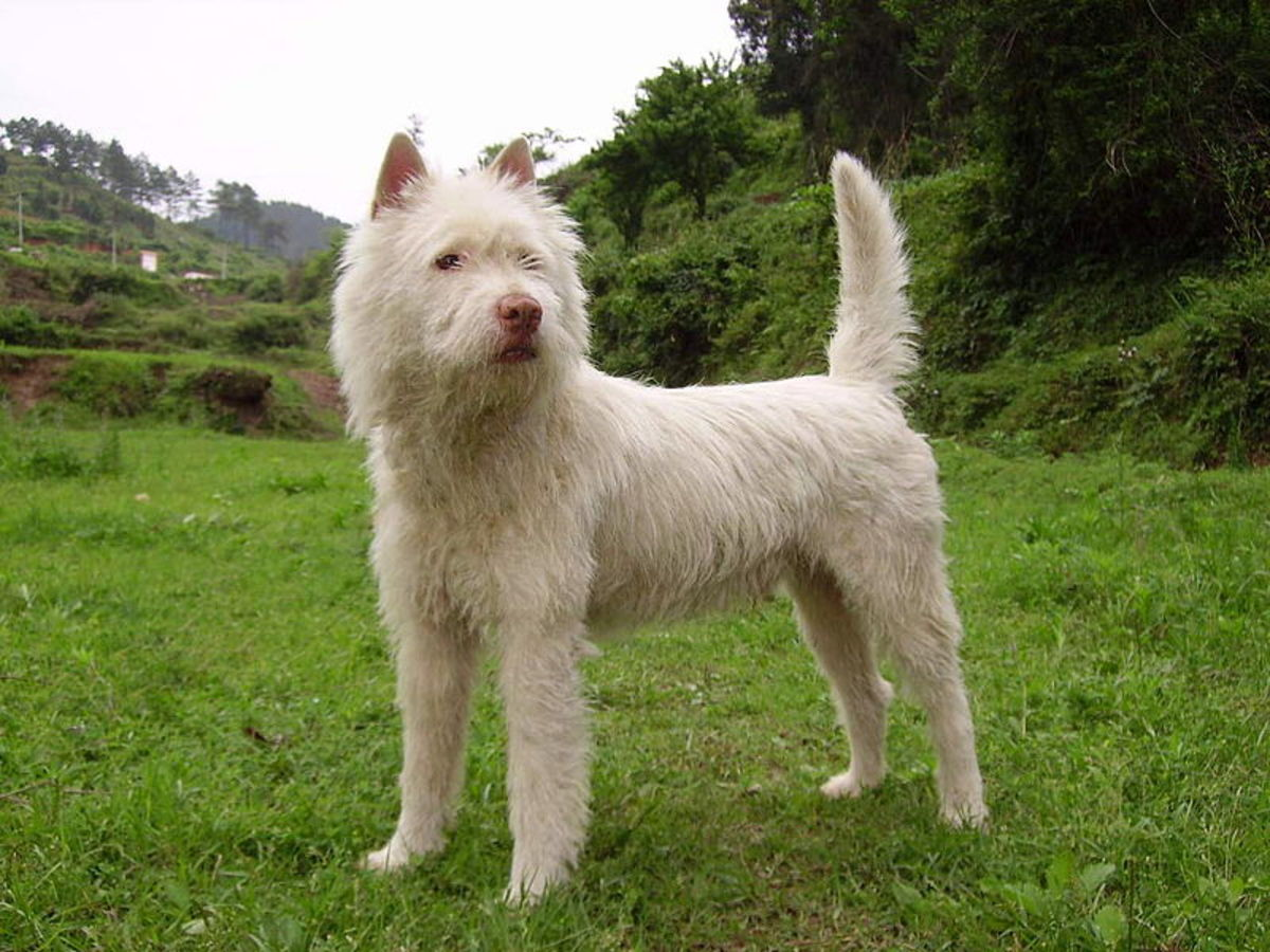 A Xiasi Quan or Bai Long Quan dog.