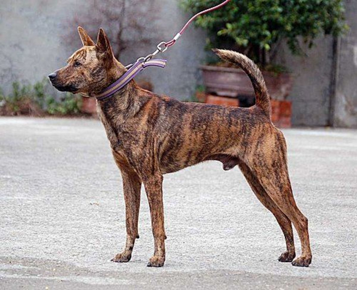A Formosan Mountain Dog.