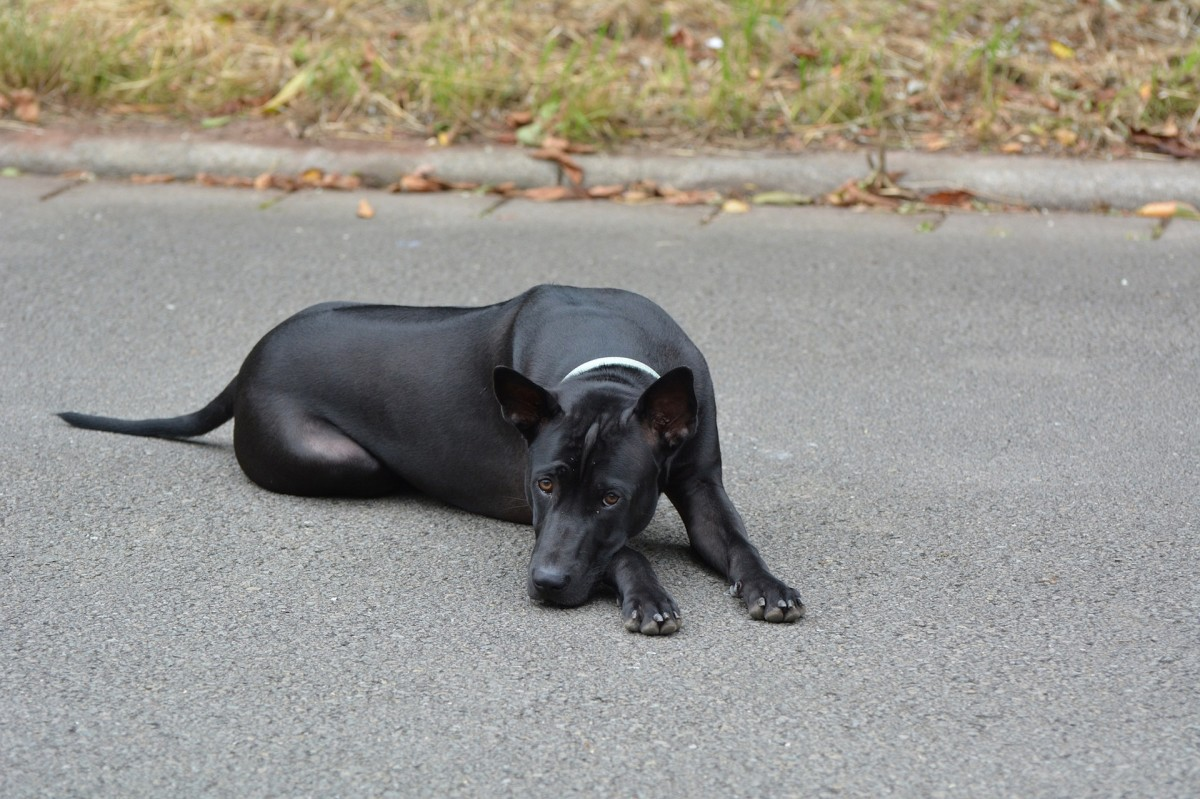 This is a black Thai Ridgeback; their coat also comes in blue and red. You can just see the darker ridge of fur along its back that gives the dog its name.