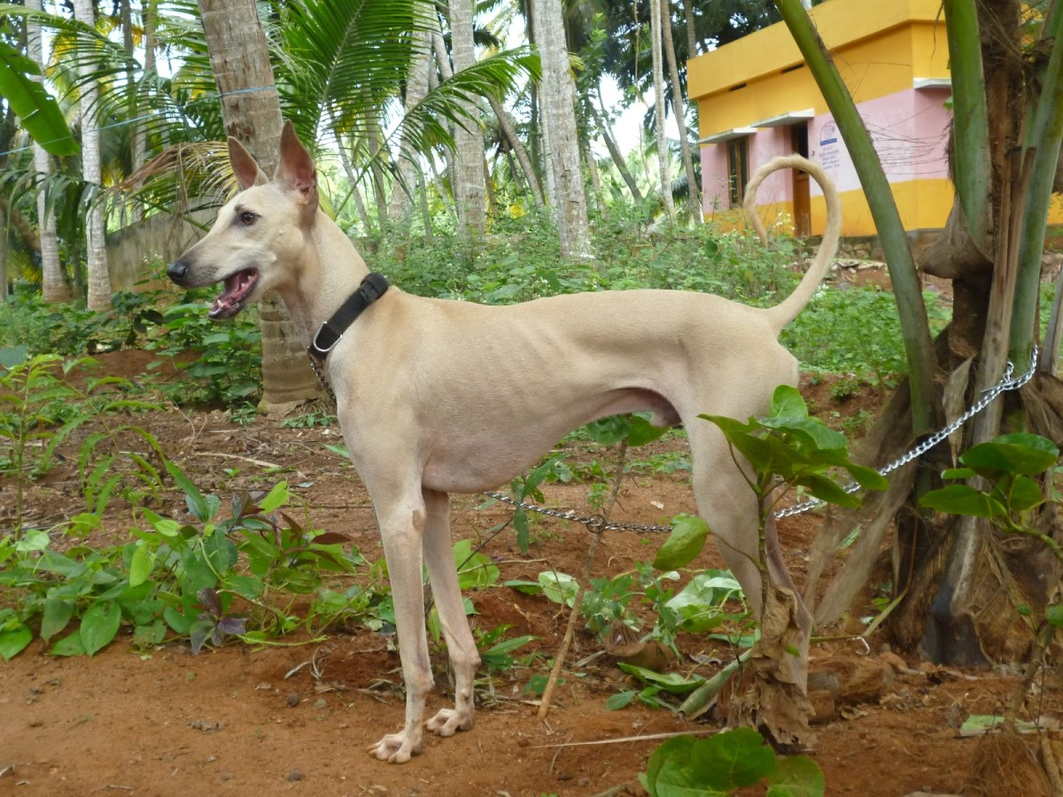 The Chippiparai Hound may be related to the Egyptian Saluki.