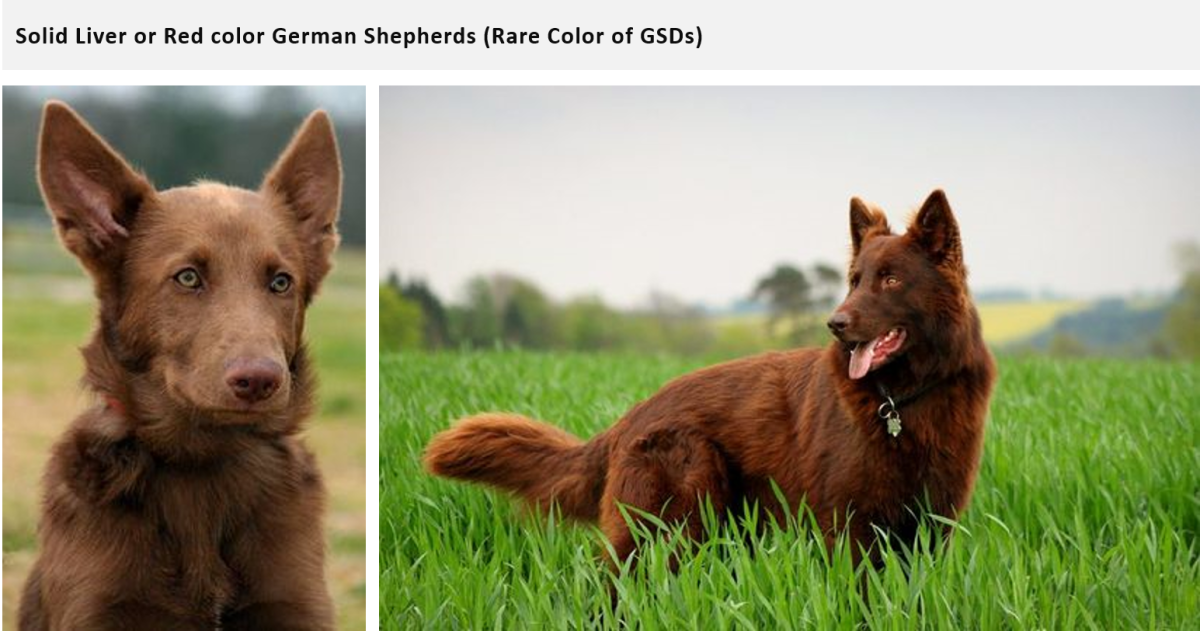 German Shepherd Coats And Colors Pethelpful