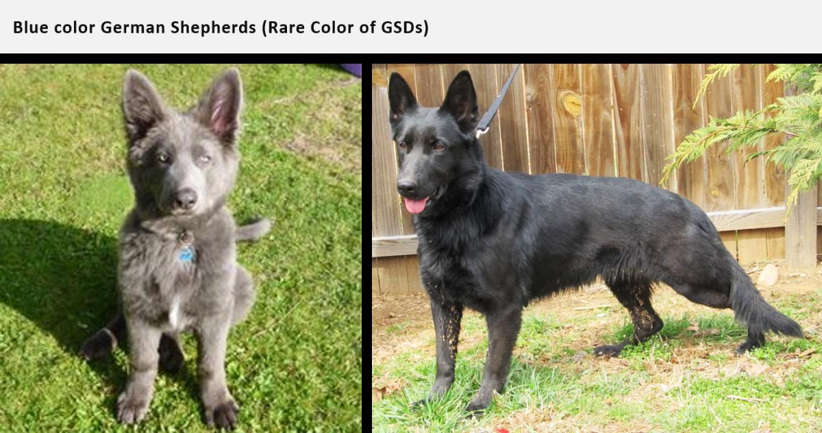 german shepherd coats and colors pethelpful