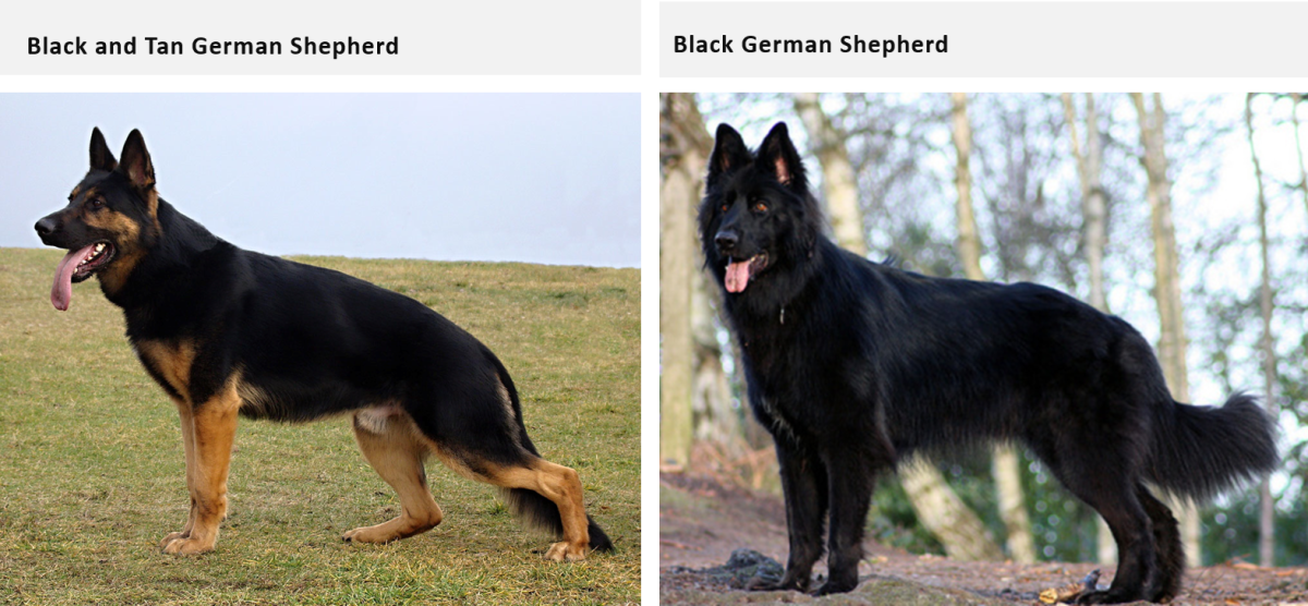 colors-of-german-shepherd-and-alsatian