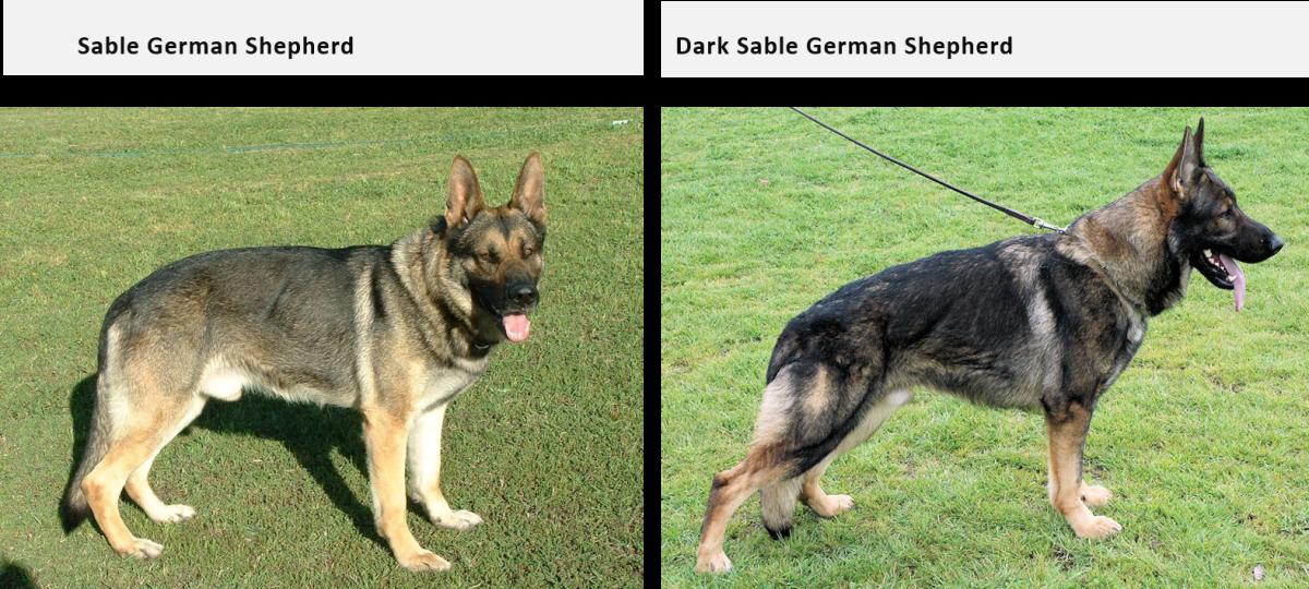 German Shepherd Coat and Color Varieties | PetHelpful
