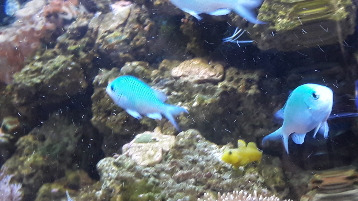 Three's a crowd. Fish species of similar temperament in a newly established saltwater aquarium, is often the key to a well established and peaceful environment.