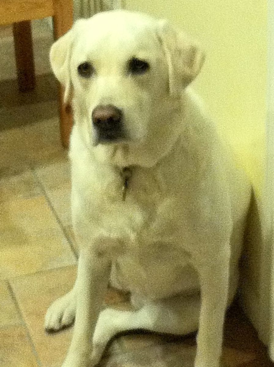 This is Stella, a White Labrador.  She is just precious!