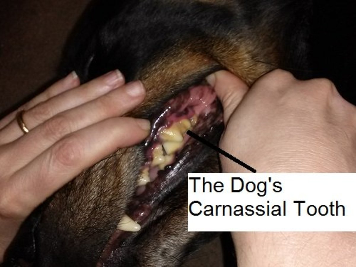The dog's upper carnassial tooth is the largest tooth and has 3 roots. All rights reserved.
