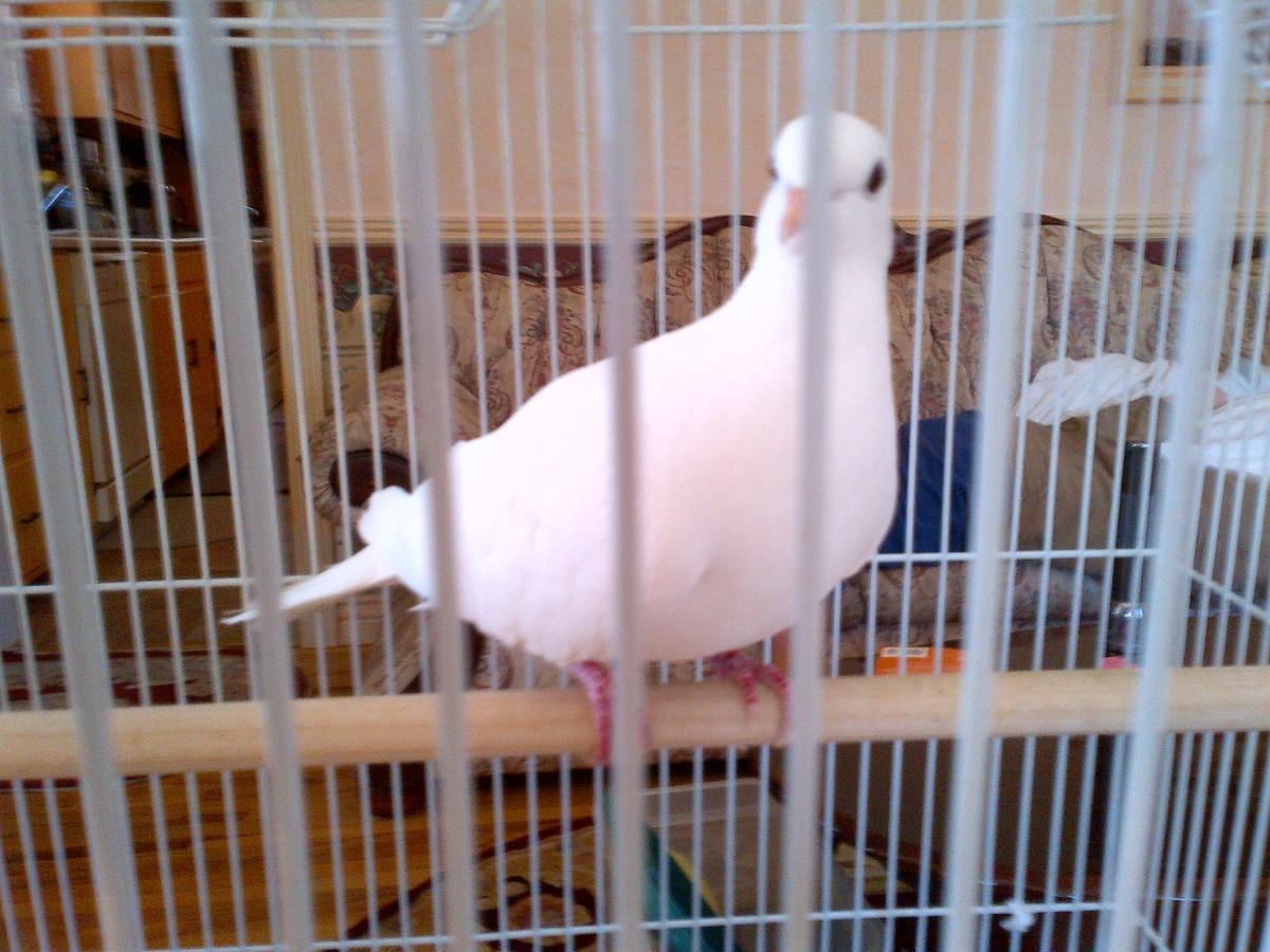 A curious pet Java dove.