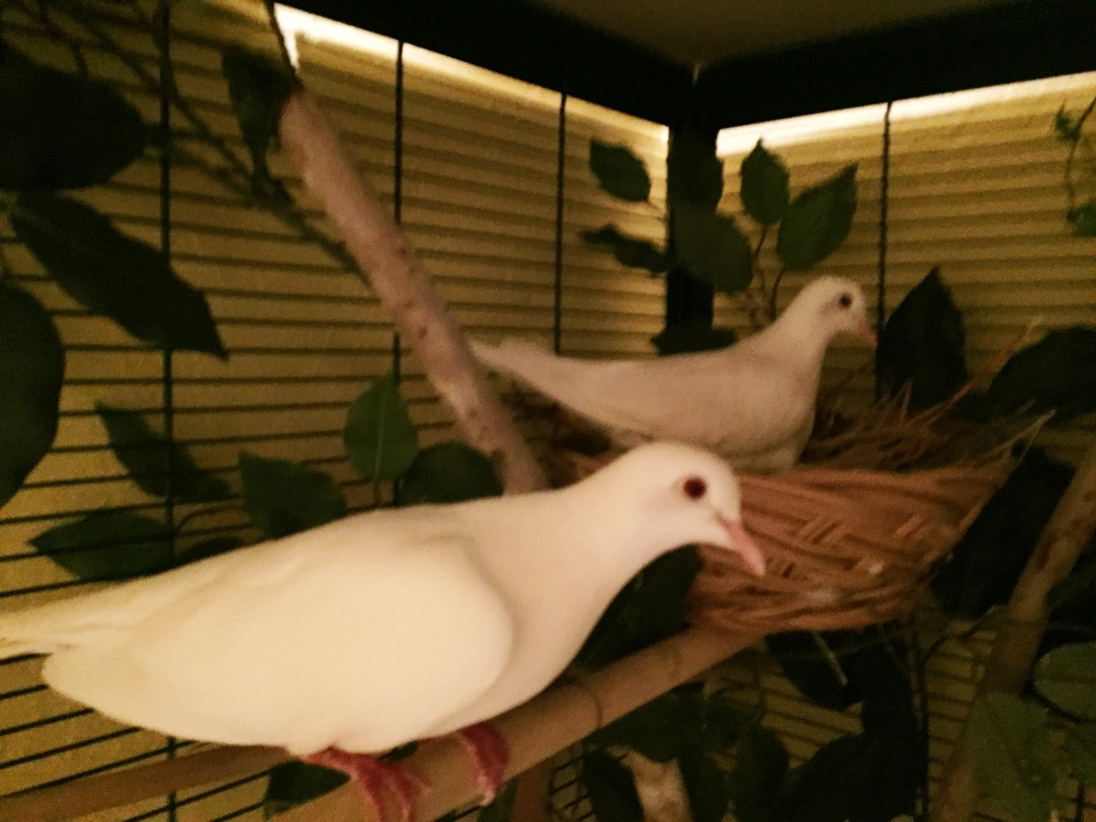 Large Cages provide shade for Java Doves