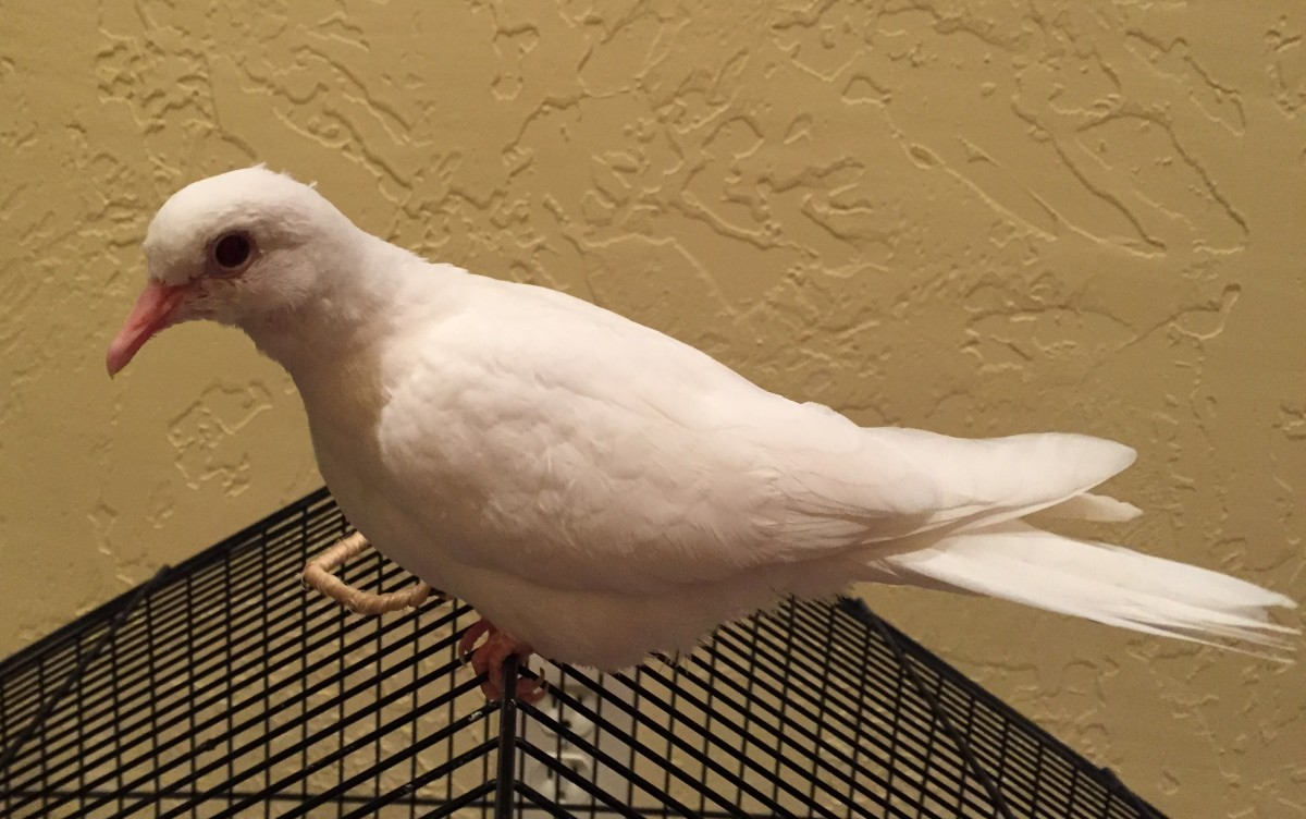 Java Dove - about 3 months old