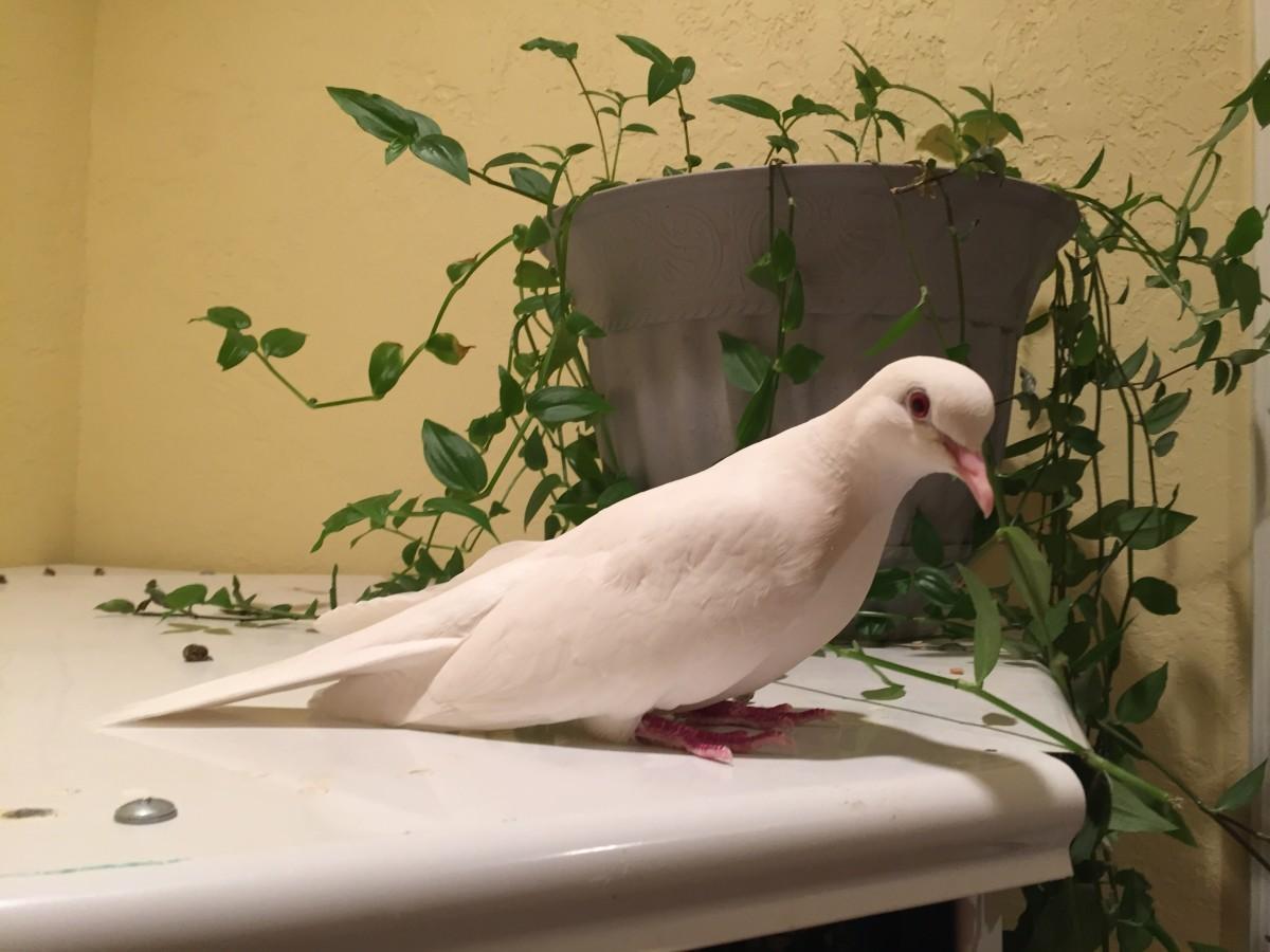 This Java dove has been avoiding his bath.