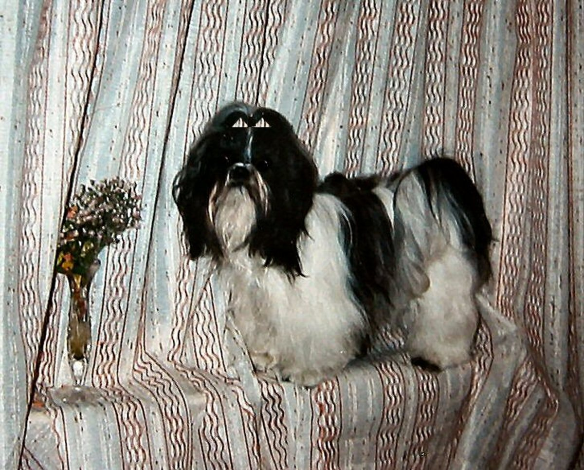 With the right kind of brushes and combs, any dog can look like a show dog.