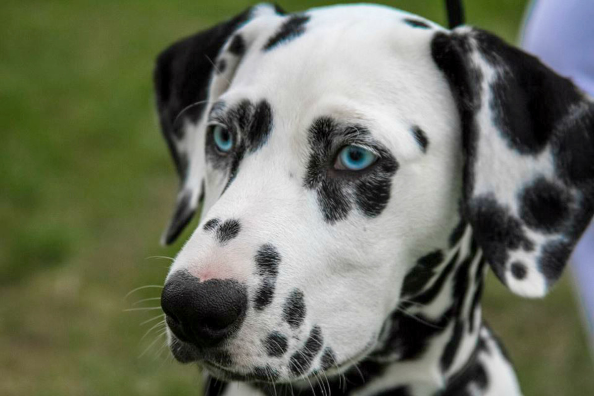 Blue eyes can occur in dalmatians, although it is a disqualifying fault.