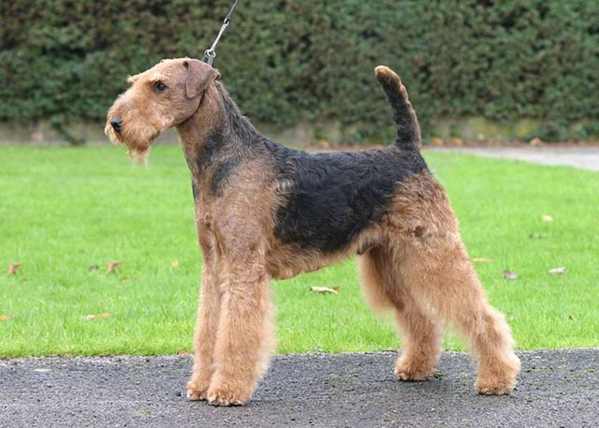 An Airedale