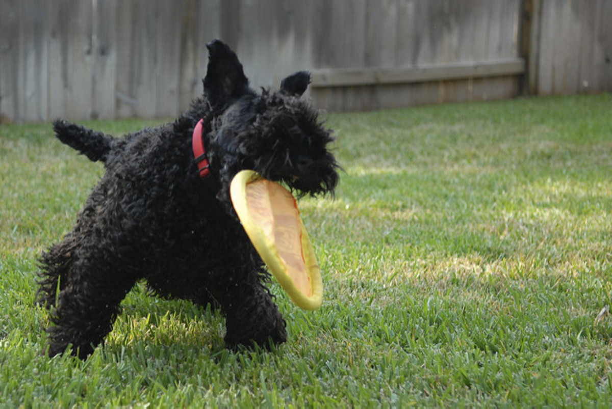 A young Kerry Blue Terrier.