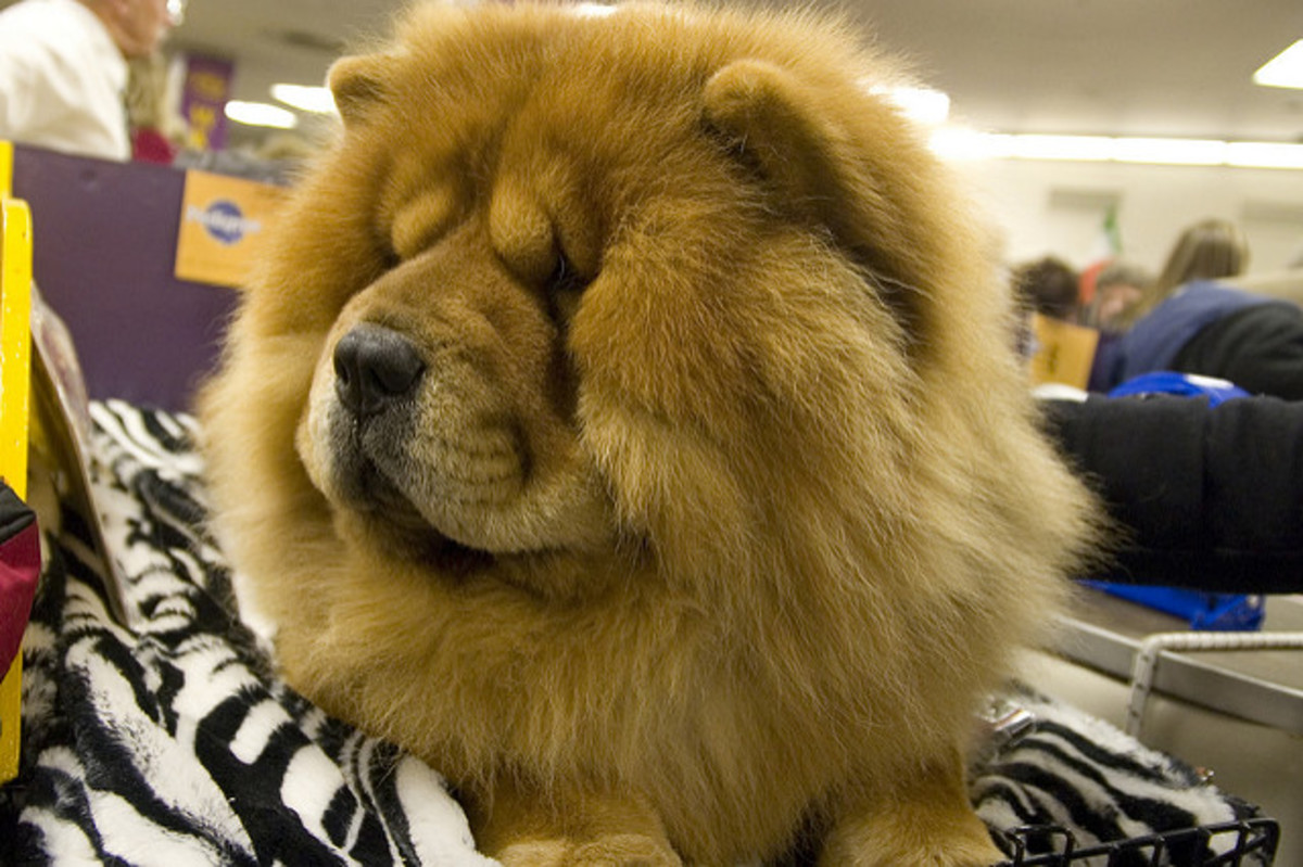 A Chow groomed for a dog show.