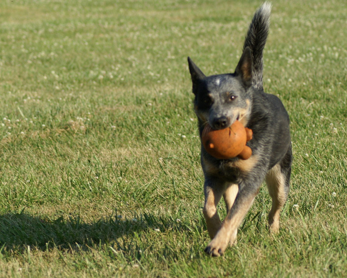 An Australian Cattle Dog.