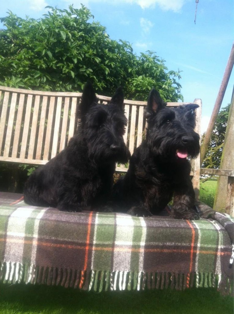 things-to-be-aware-of-in-before-getting-a-scottish-terrier