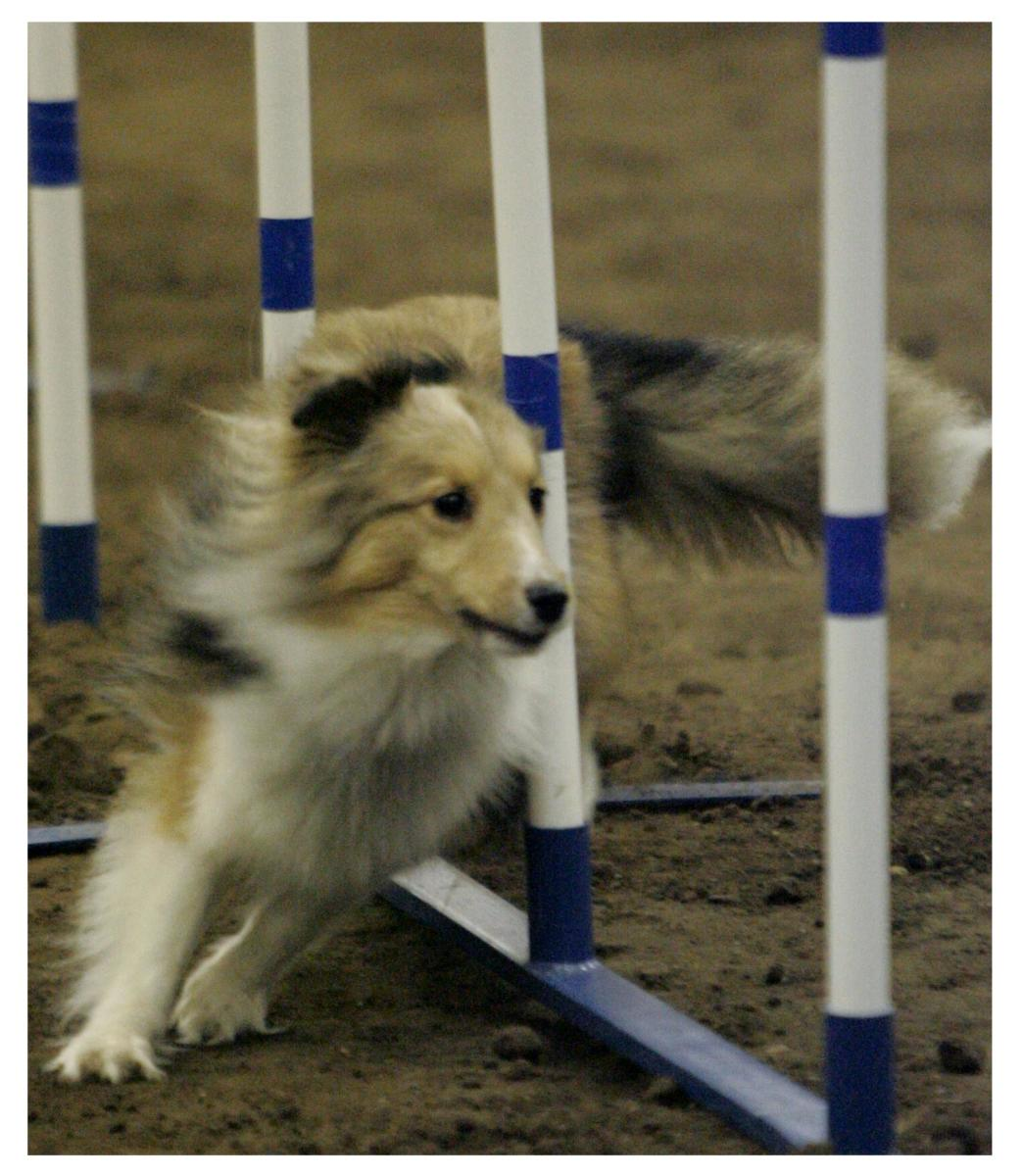 how-to-train-an-agility-dog-to-run-with-a-physically-limited-handler