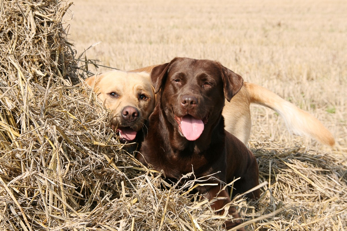 These Labs look like good friends.