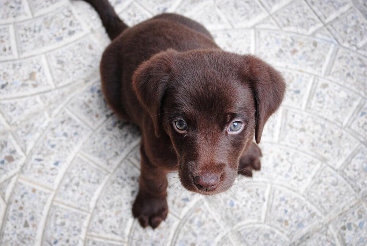 A chocolate Lab puppy