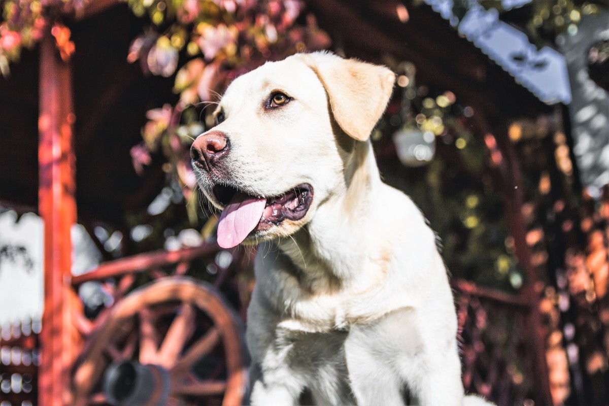 Some yellow Labs are so pale in colour that they look almost white.
