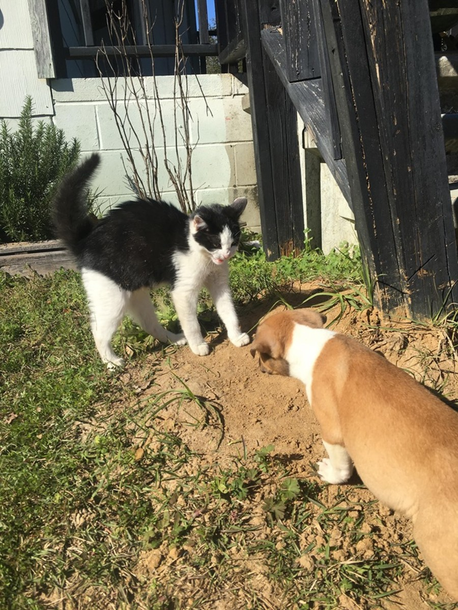 Ziggy the cat and Bully the puppy