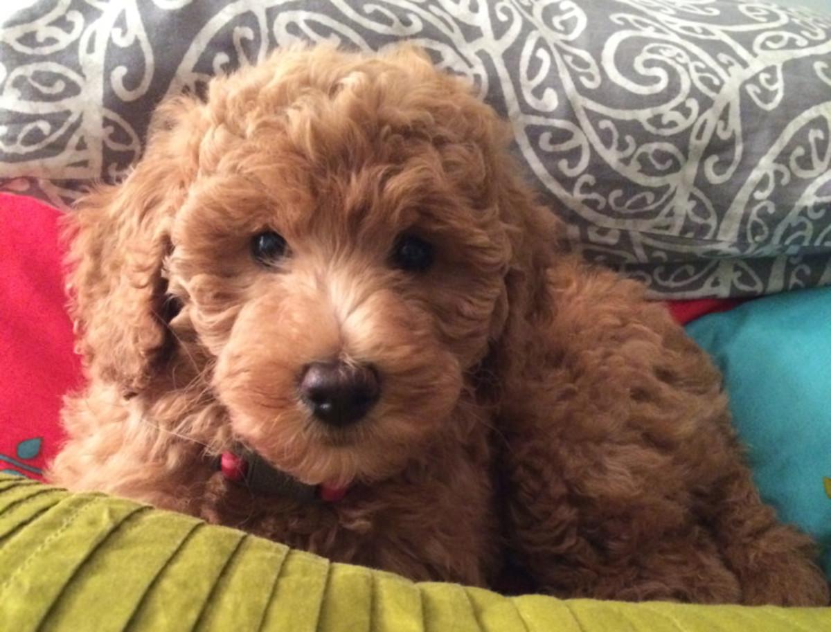 A Labradoodle puppy!