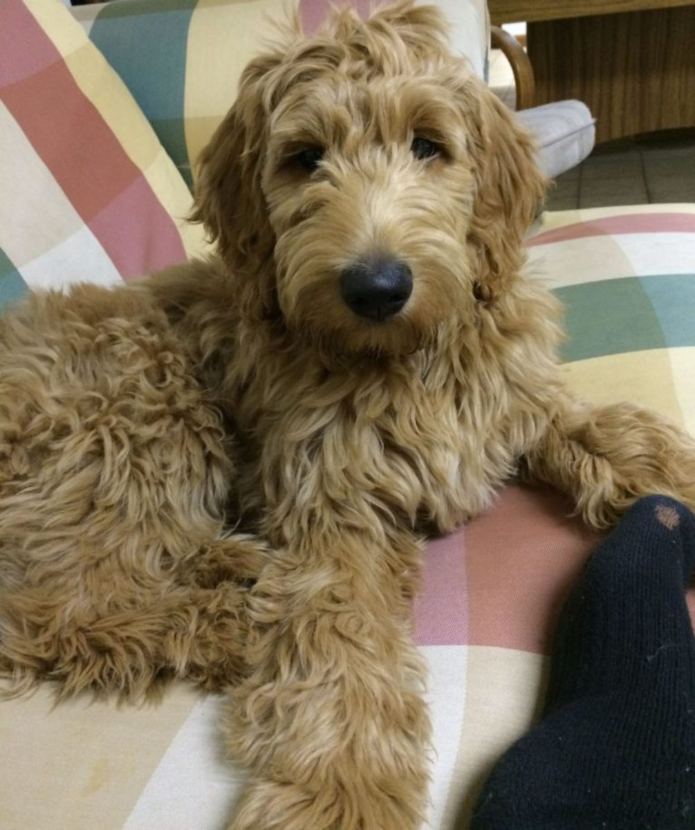 A Goldendoodle puppy.