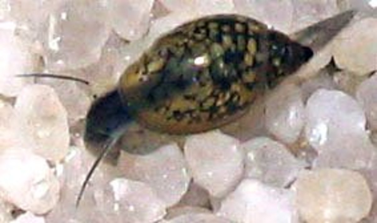 The tadpole or pond snail is the most common invader.