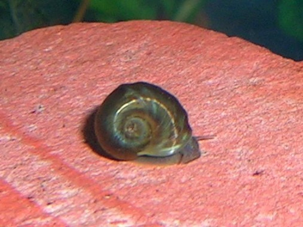 You may not mind having a few ramshorn snails around.