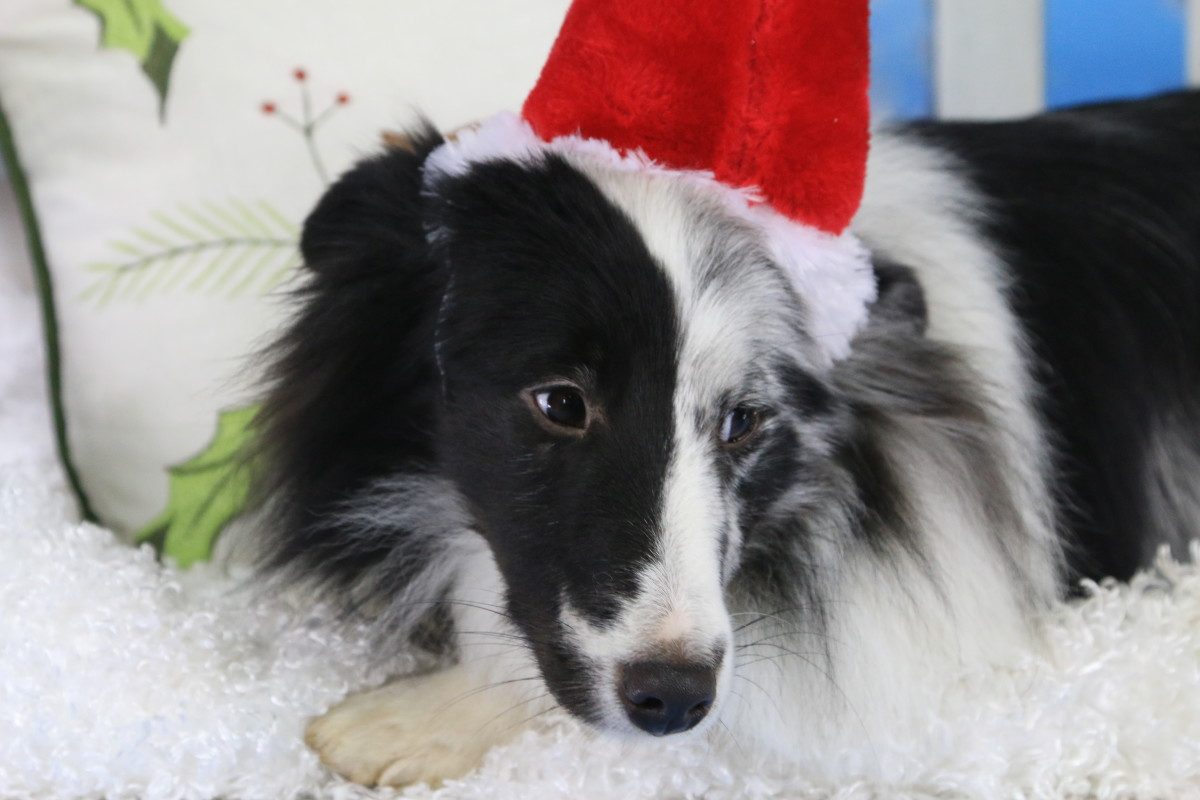 It's pretty obvious the author's Sheltie is none to pleased to be forced to wear a Santa hat.  Dog's emotions are sometimes easy to read, but sometimes they are very subtle.