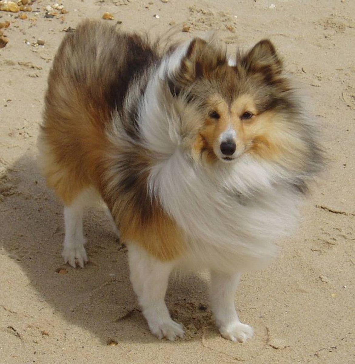 top-10-smartest-dog-breeds-list-and-information