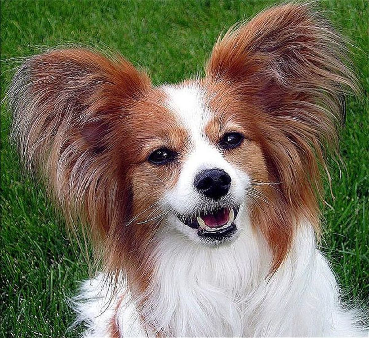 List of the top 10 smartest dog breeds and their information pethelpful - Images de papillon ...