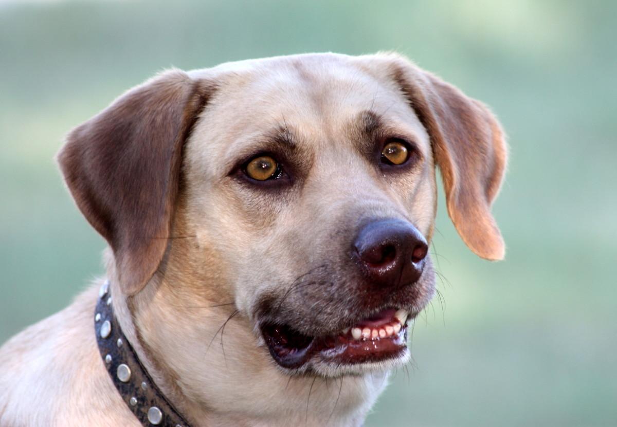 My Labrador retriever, Sadie.