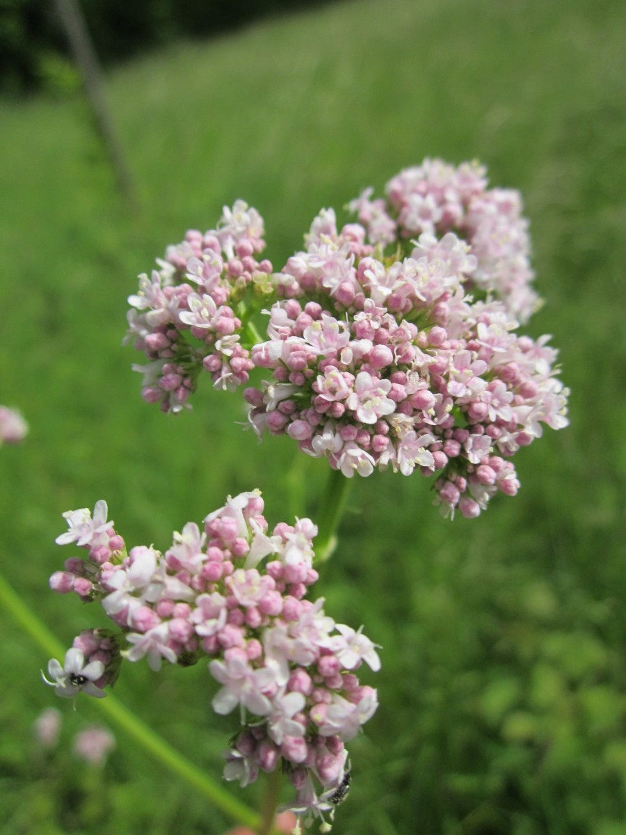 Valerian is also another beautiful plant, sure to be a great addition to any herb or flower garden.