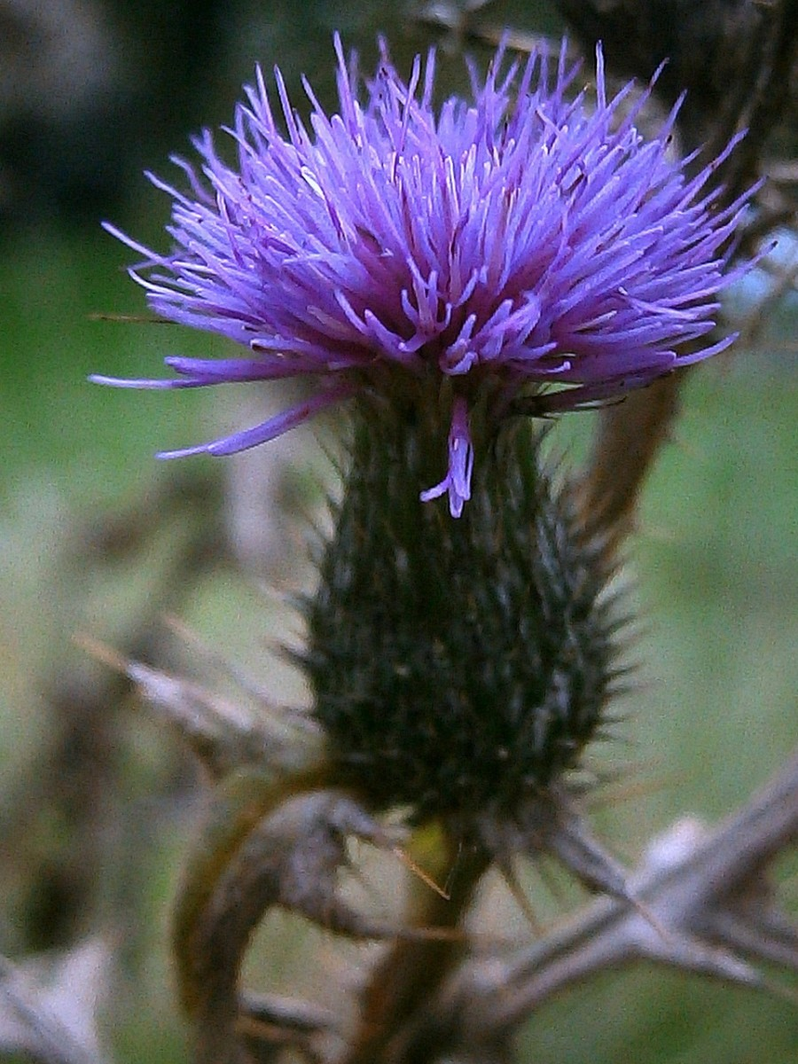 Milk thistle improves liver function and prevents liver damage.