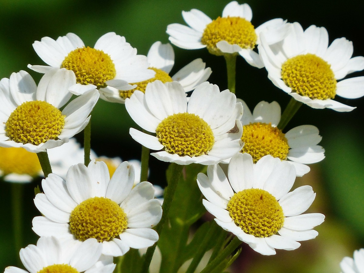 Chamomile can be grown and is fairly hardy under the right conditions.