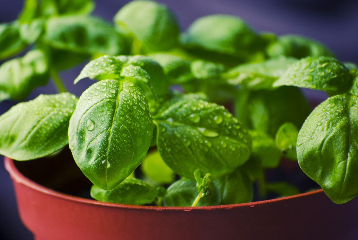 Basil is extremely effective against bacteria.