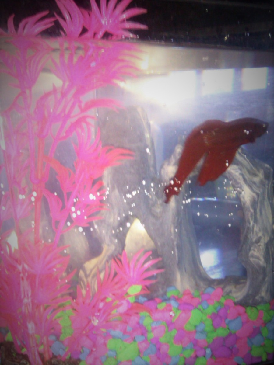 Red Fishy enjoying his environment.