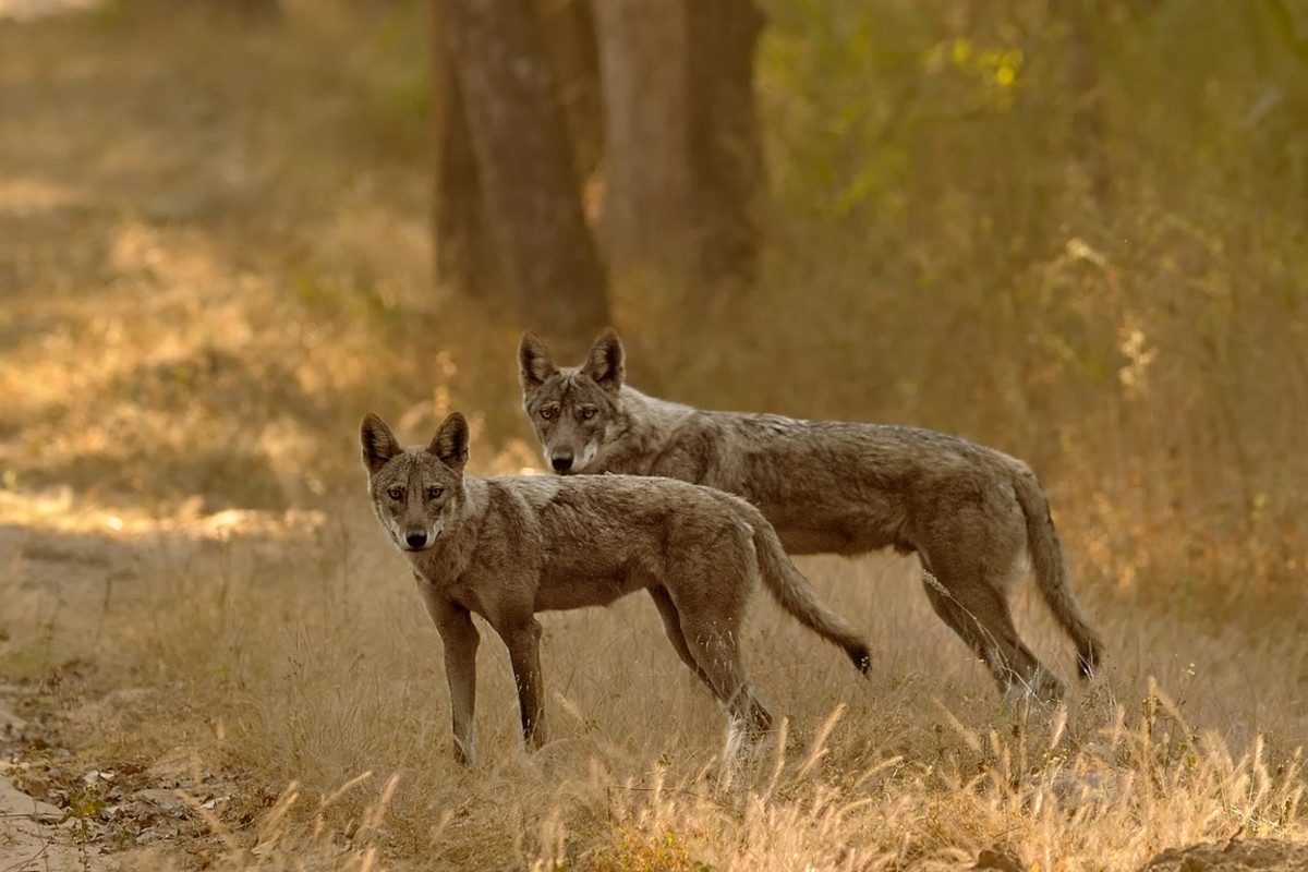 Indian Wild Dogs