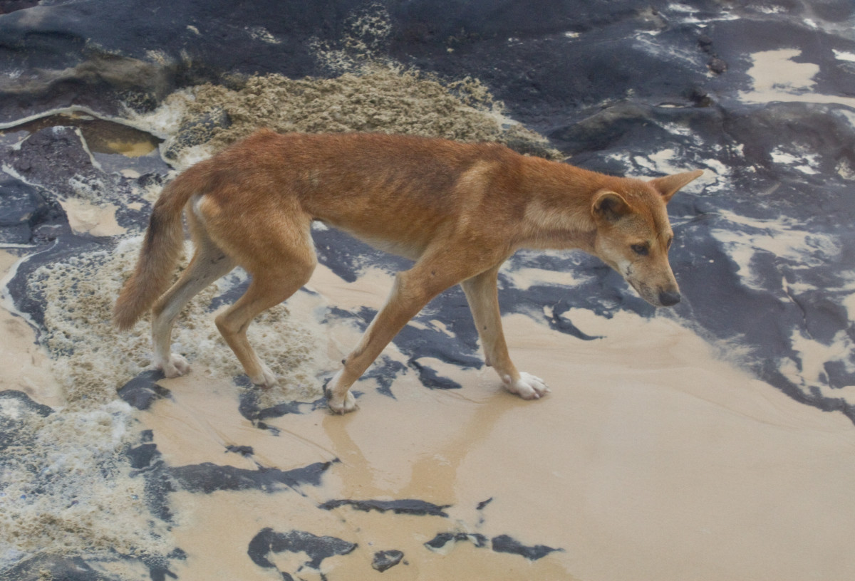 Despite looking a lot like domestic dogs, Australian dingos tend to behave more like wolves.
