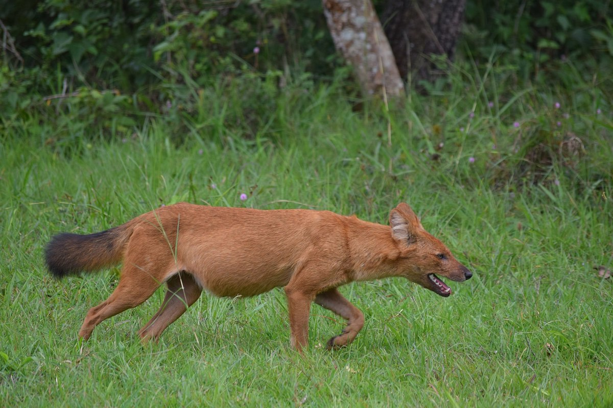 Asiatic wild dogs are often described as resembling overgrown foxes.