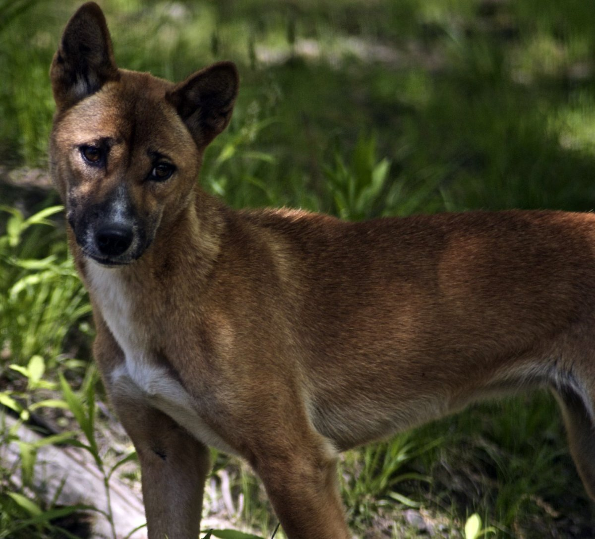 New Guinea singing dogs are so named because their vocalizations are more dynamic than those of other canines.