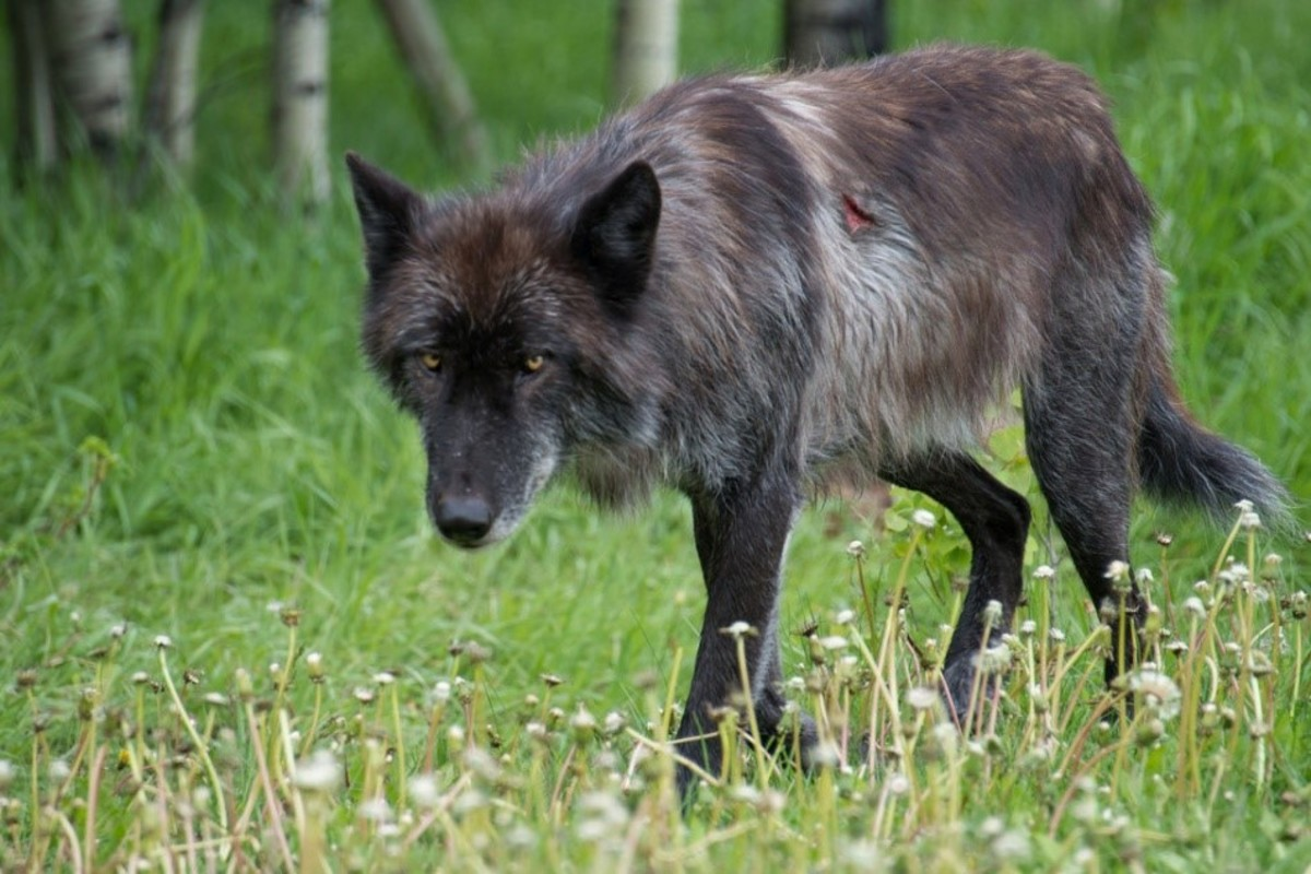 Hierran Wolfdogs look more like wolves than most other wild dog breeds.